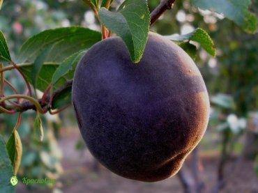 abrikos-chernyj