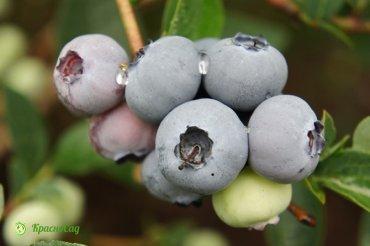 brigitta-blu
