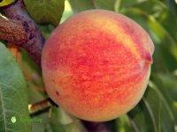 persik-medovyi